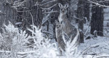 Neobvyklá podívaná: klokani hopsají po zasněžené Austrálii